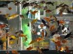 fishy-wishies