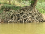 Roots into the Mekong