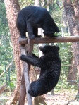 Playful bears